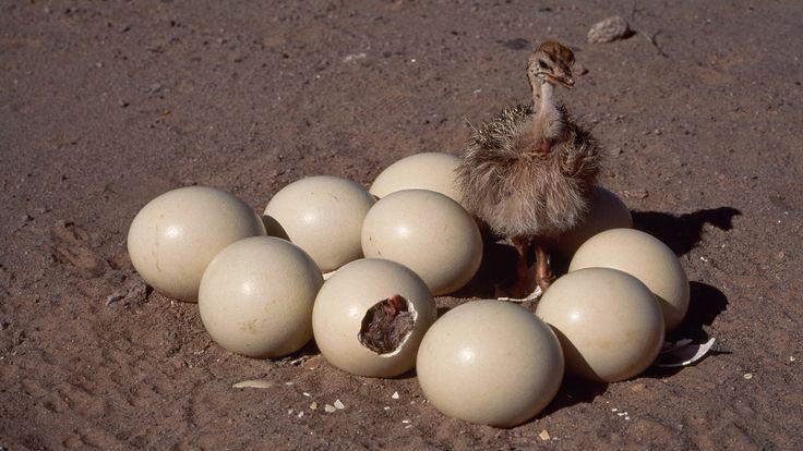 Image result for ostrich egg size