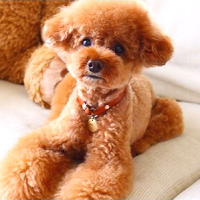 1000+ ideas about Toy Poodle Puppies on Pinterest