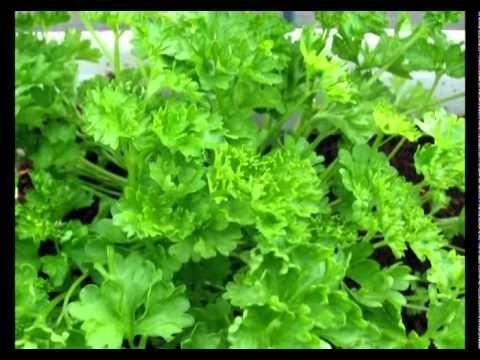 Сад и огород. Петрушка и сельдерей - YouTube