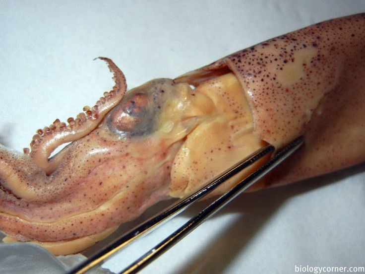 Squid Dissection Diagram Look Inside The Giant Squid