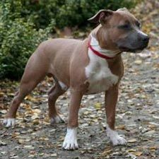 American Staffordshire Terrier Information, Pictures of American Staffordshire Terriers | Dogster  Awesome apartment dogs!!
