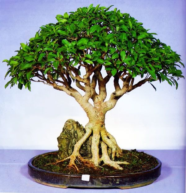 26 best images about bonsai on pinterest trees bonsai trees and bonsai tree care. Black Bedroom Furniture Sets. Home Design Ideas