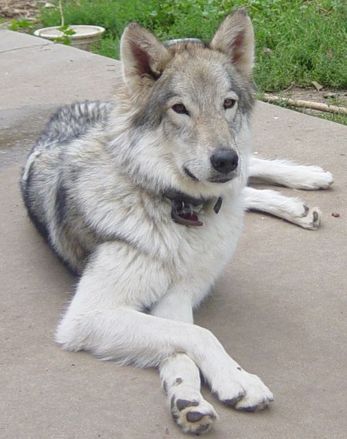 17 best images about native american indian dogs on pinterest