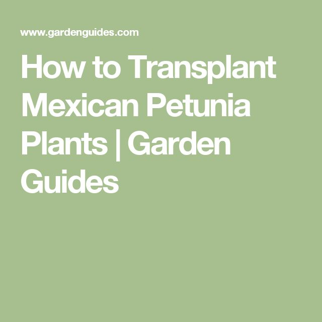 How to Transplant Mexican Petunia Plants | Garden Guides