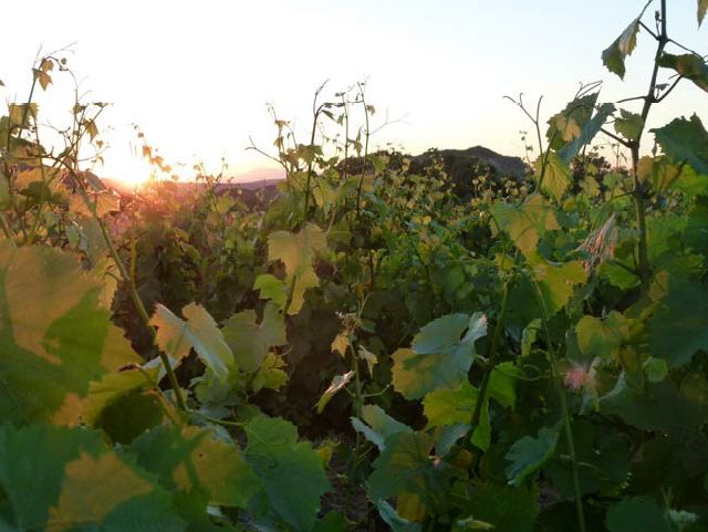 Sunrise over our Chardonnay Vineyard in Languedoc, South of France