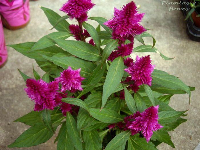 43 best CelosiaCrestaDeGallo images on Pinterest Flower gardening