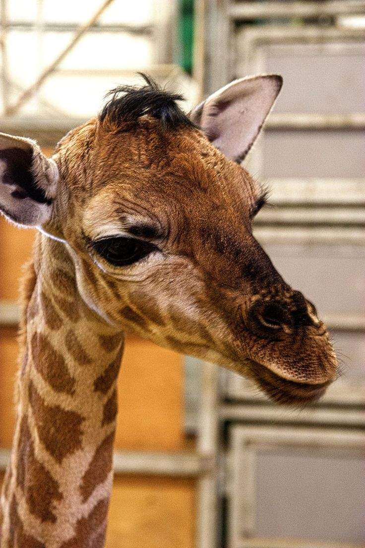 Baby Giraffe Being Raised By Zoo Keepers