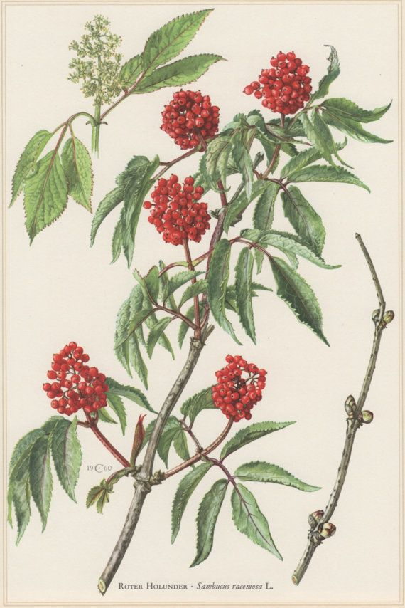 1960 Botanical Print Sambucus racemosa Red by Craftissimo on Etsy