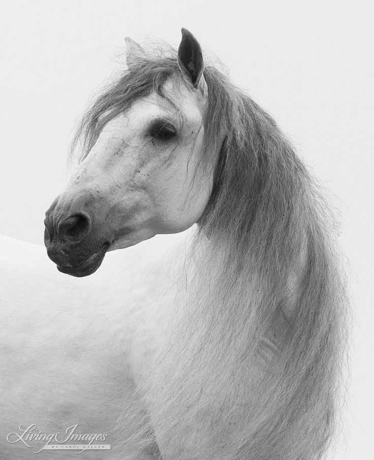 White Stallion Turns His Head - Fine Art Horse Print - Black and White. A gorgeous white Andalusian stallion with a very long mane turns his head.