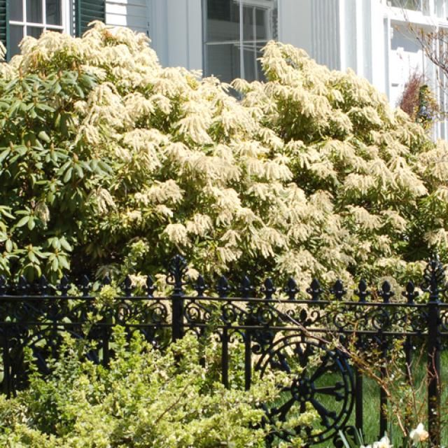 10 Shrubs That Thrive in the Shade: Andromeda: Shrubs for Shade That Are Evergreen, Flowering