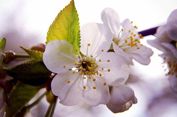 """ Яблони в цвету, весны творенье, Яблони в цвету, любви круженье..."" #byolgapushkinaphoto #botanical #flowers #flora #instaflower #springtime #spring #beautyful #appletree #may #macro #photoflowers"