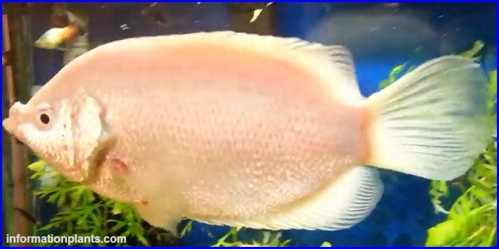 كيسينج جرامي Helostoma Temminckii سمك زينة انواع الاسماك انواع الاسماك مع الصور معلوماتية نبات حيوان اسماك فوائد Fish Pet Pets Animals