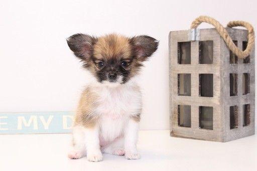 Papillon puppy for sale in NAPLES, FL. ADN-26400 on PuppyFinder.com Gender: Female. Age: 10 Weeks Old