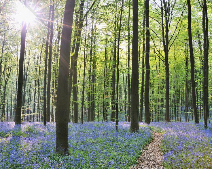 Path through Bluebells Forest - Fototapeter & Tapeter - Photowall