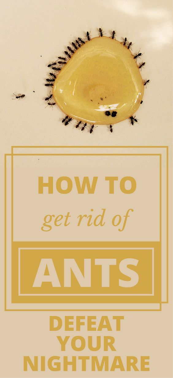 how to get rid of tiny black ants in home