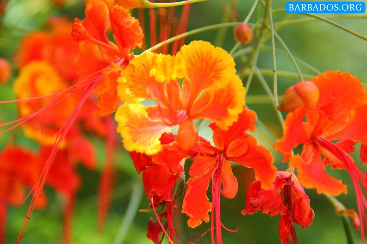 As Barbados enters our month of Independence celebrations we're happy to share this beautiful Pride of Barbados, our national flower