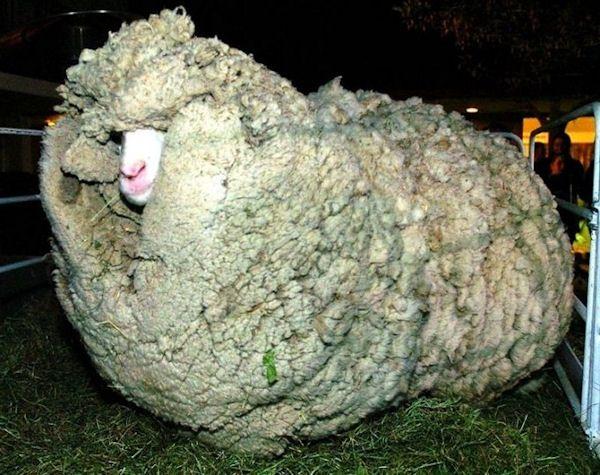 insolite laine mouton