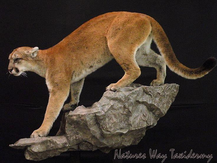 Taxidermy lion