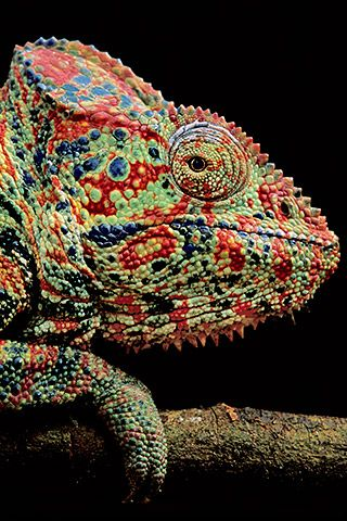 Oustalet's chameleon, Madagascar (by National Geographic photographer Frans Lanting)