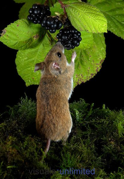 Wood Mouse (Apodemus sylvaticus) feeding on blackberry fruit ~ By Robert Pickett
