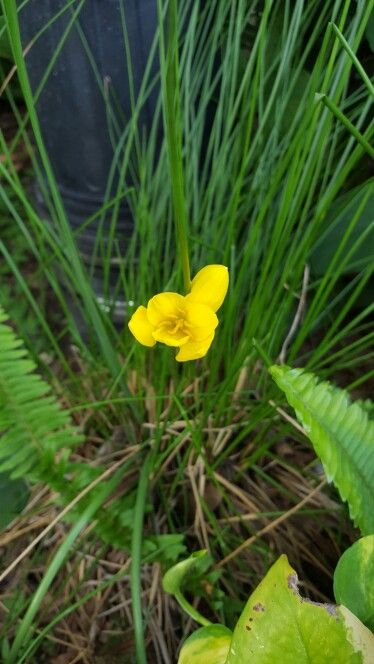 Yellow Crocus grown from seed pod.