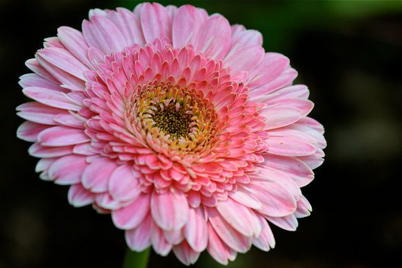 Details About African Daisies Seeds Copper Amethyst Easy Grow