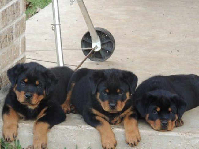 Rottweiler Puppies In Texas Zoe Fans Blog Rottweiler Puppies
