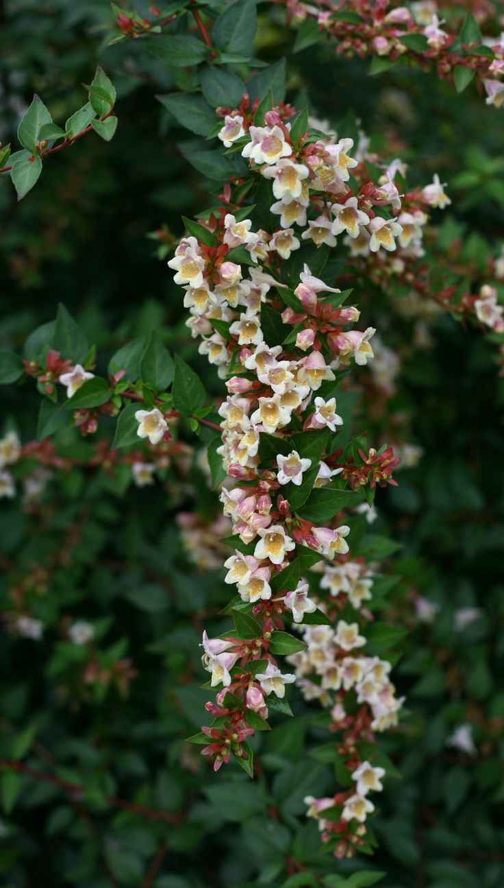 20 best deer resistant shrubs images on pinterest proven winners this tough landscape plant is smothered with yellow and pink flowers all summer long right dhlflorist Gallery