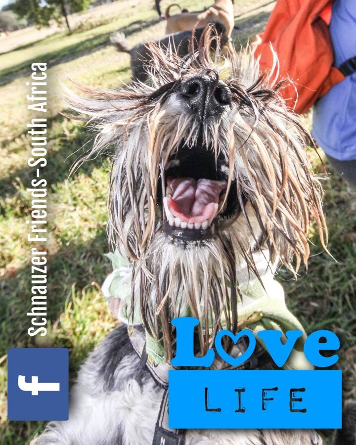 Featured pic from the June 2017 Johannesburg Schnauzer Friends Fun Walk! Thanks Kritzographyfor the pics!