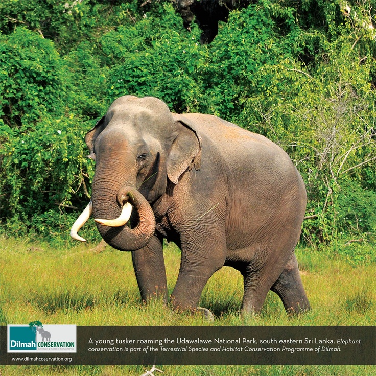 A young tusker roaming the Udawalawe National Park, south eastern Sri Lanka. Elephant conservation is part of the Terrestrial and Habitat Conservation Programme of Dilmah.
