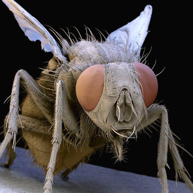 25 Imagenes Asombrosas Vistas por Microscopio Electronico- Mosca domestica comun