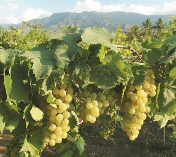 Kebun Anggur Import