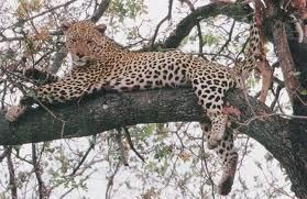 Levhart skvrnitý  někdy také nazývaný panter, leopard nebo pardál žije v Africe a Asii,