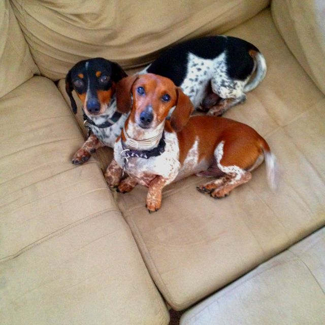 Piebald dachshunds. So cute!!