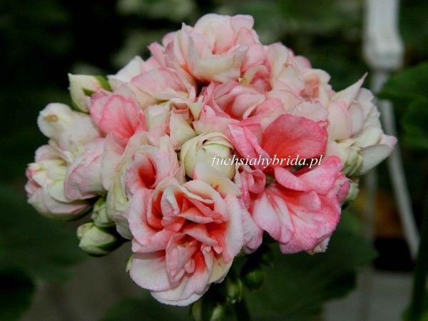 105 Pelargonia Denise