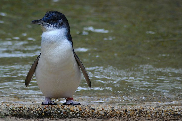 Tiny Blue Penguin Timaru.  Went out to watch these a couple of nights with Mum and Dad.