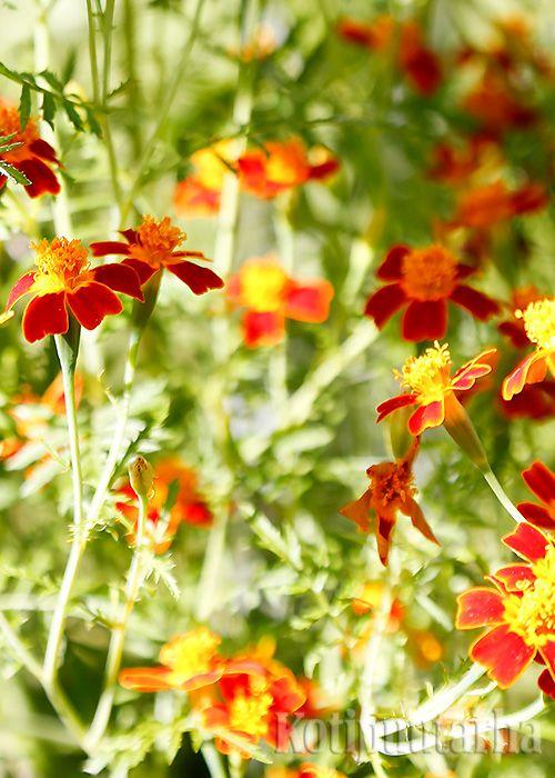 KÄÄPIÖSAMETTIKUKKA - KUUKAUDEN KASVI 3/2017. Keltaisen, oranssin ja punaisen sävyissä leiskuvat kääpiösamettikukat riemastuttavat ruukkutarhassa ja vihannesmaalla. Niistä on iloa myös makunystyröille.
