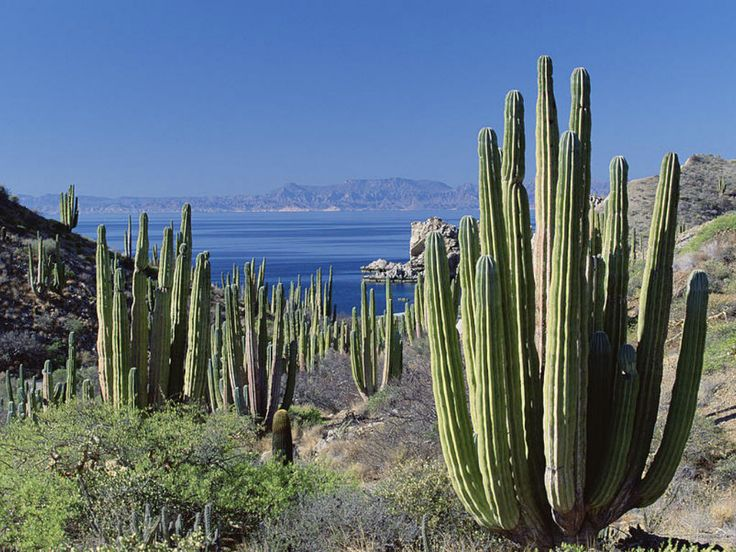 Overwatering Pachycereus is a surefire way to damage them. Arid, hot conditions just like the Mexican desert are ideal - you really shouldn't have to...