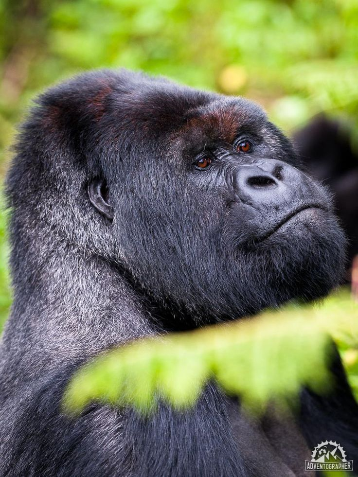 The Ultimate Guide to Silverback Gorilla Trekking