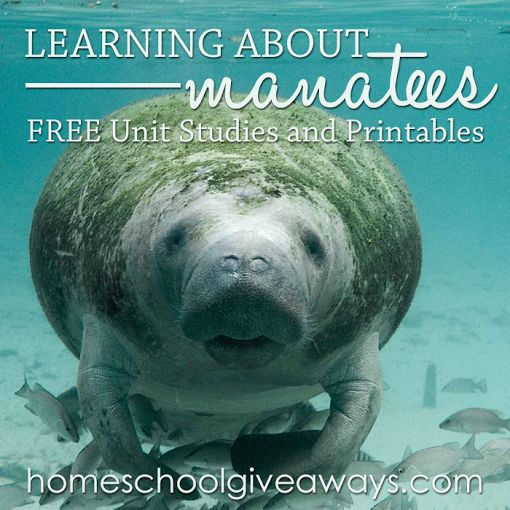 Manatees are such sweet, gentle creatures and a lot of fun to learn about. Those that live outside of Florida may never have heard of this marvelous creature! H