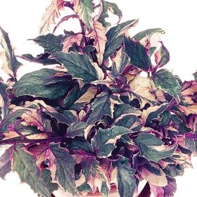 purple passion variegated one of over 400 varieties from exotic angel plants