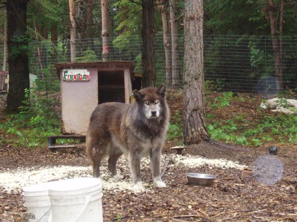 Wonderful Wolfbear Chubby Adorable Dog - d9eb66689ead3a436b9a178ea6b04f8e--timber-wolf-medium  HD_748740  .jpg