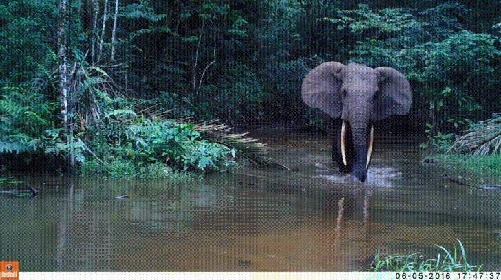 A bull African Forest Elephant on wildlife cam Congo Rainforest http://ift.tt/2FE4cQz
