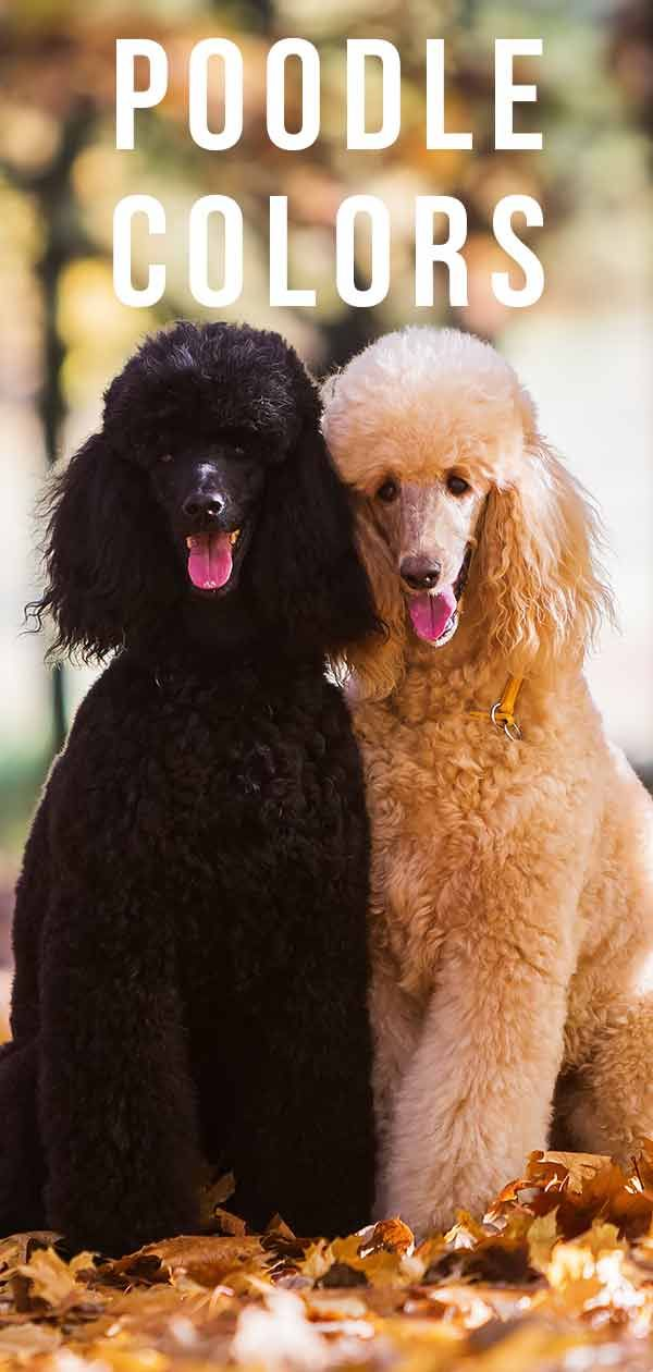 Poodle Colors Do You Know How Many Poodle Coat Colors There Are