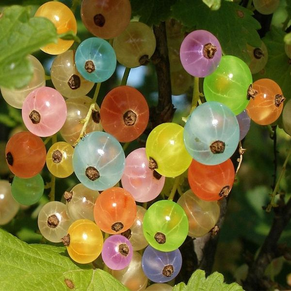 Rainbow Color Cape Gooseberry Seeds