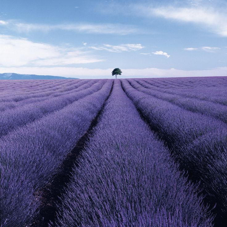 Lavender Field by Charlie Waite