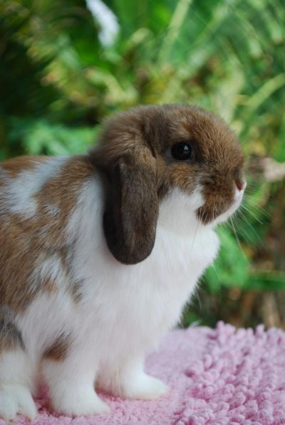 Holland Lop <3 They are so adorable