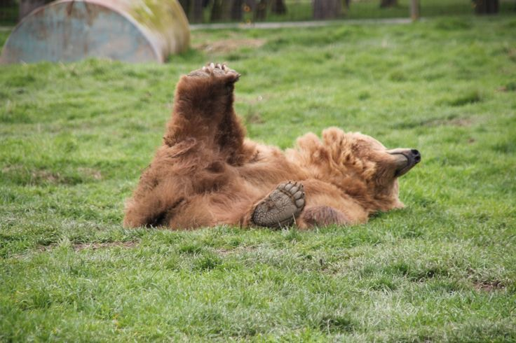Olympic Game Park, WA....grizzlies playing
