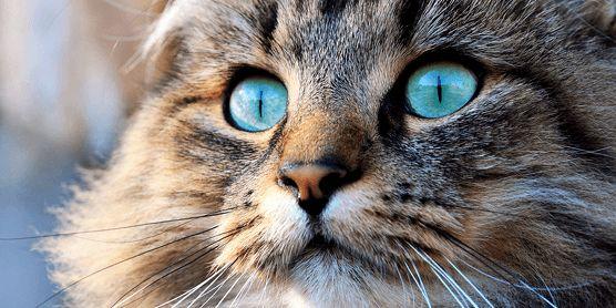 Norwegische Waldkatze - imposante Schönheit - Hund & Katz Blog - AGILA