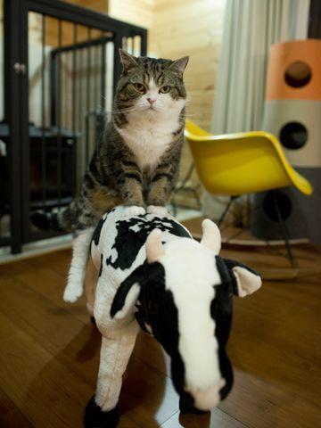 "Maru - ""I can ride a cow"""